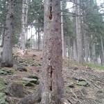 Specht - Baum